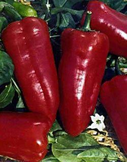 Плоды гибрида Буратино
