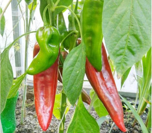 Куст с перцами в технической и биологической спелости