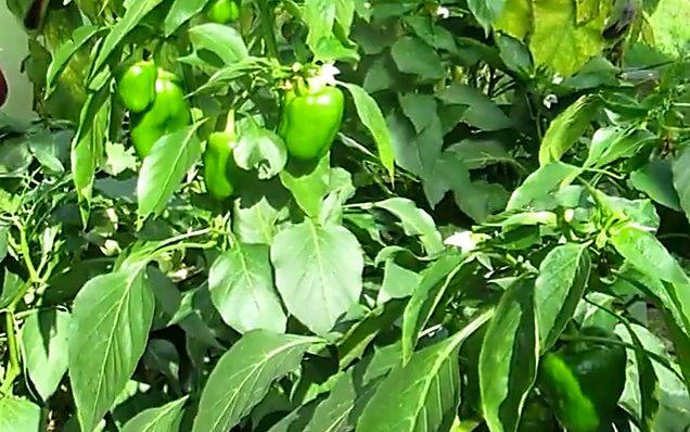 Завязавшиеся плоды на кусте