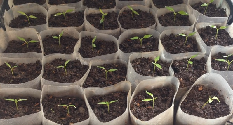 Перец в фазе 1-2 настоящих листиков