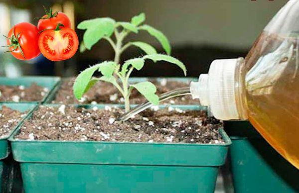 Полив томатов удобрением