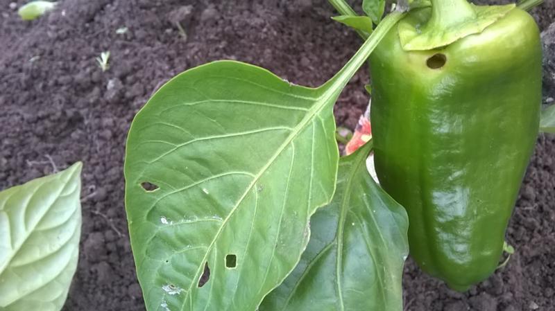 Гусеницы совки на листьях перца