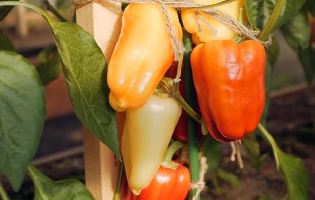 Плоды на кусте