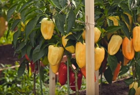 Плоды на кустах в стадии технической и биологической спелости
