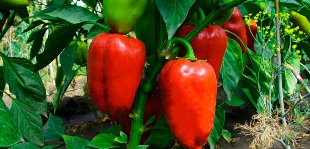 Спелые плоды на кусте